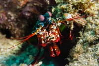 red green blue shrimp in the sea of raja ampat indonesia
