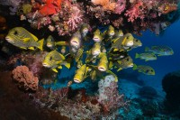 School of Ribboned Sweetlips with lovely corals in raja ampat indonesia
