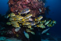 Colourful Ribboned Sweetlips and Yellowbanded Sweetlips in the sea of raja ampat