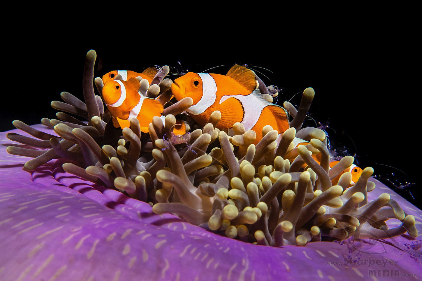 orange white clownfish in the sea of raja ampat