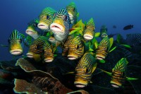 A small school of Ribboned Sweetlips staring into the camera